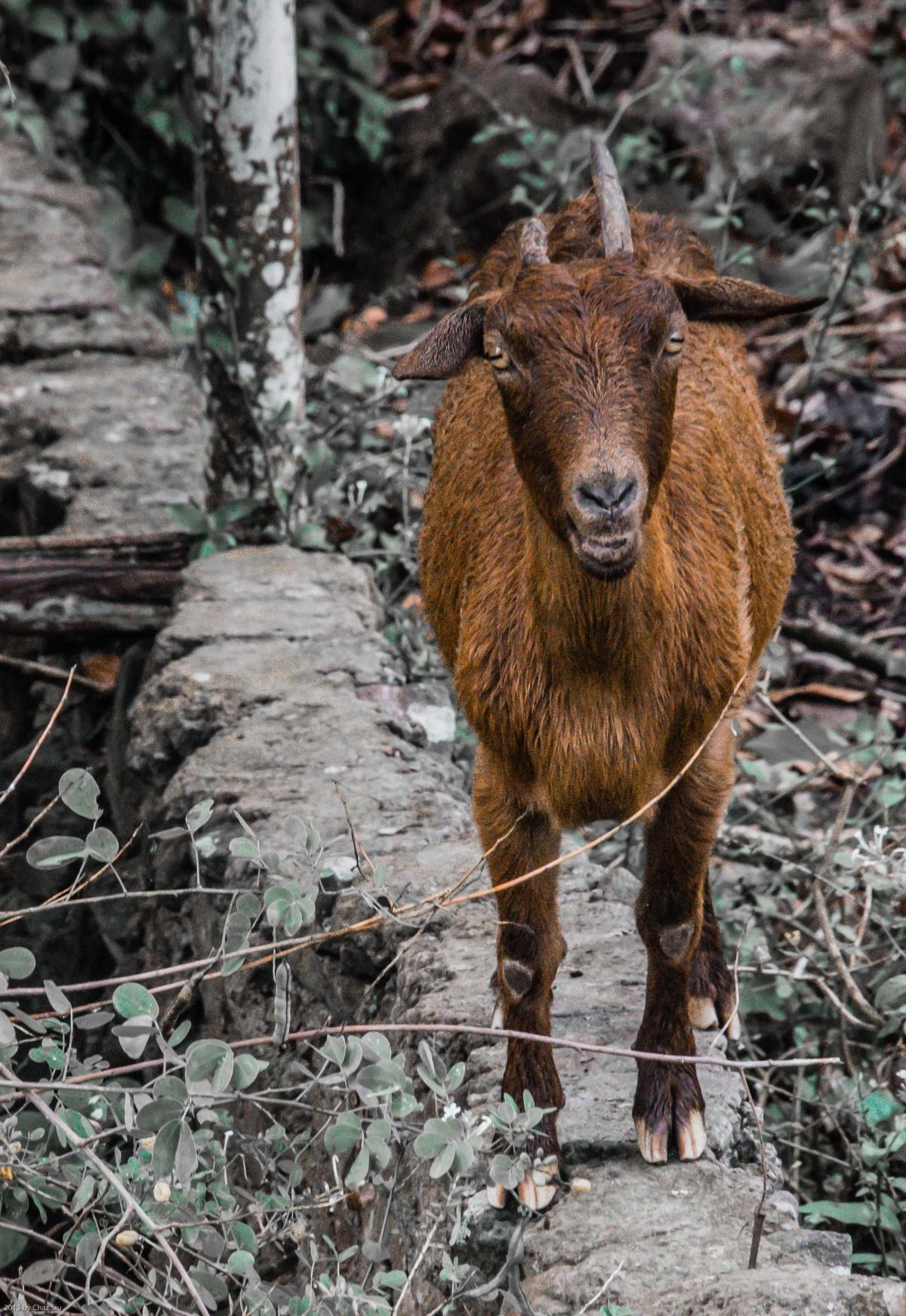 Saba Goat, Dutch Caribbean