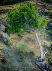 Windswept Cliff Tree, North Coast Trail