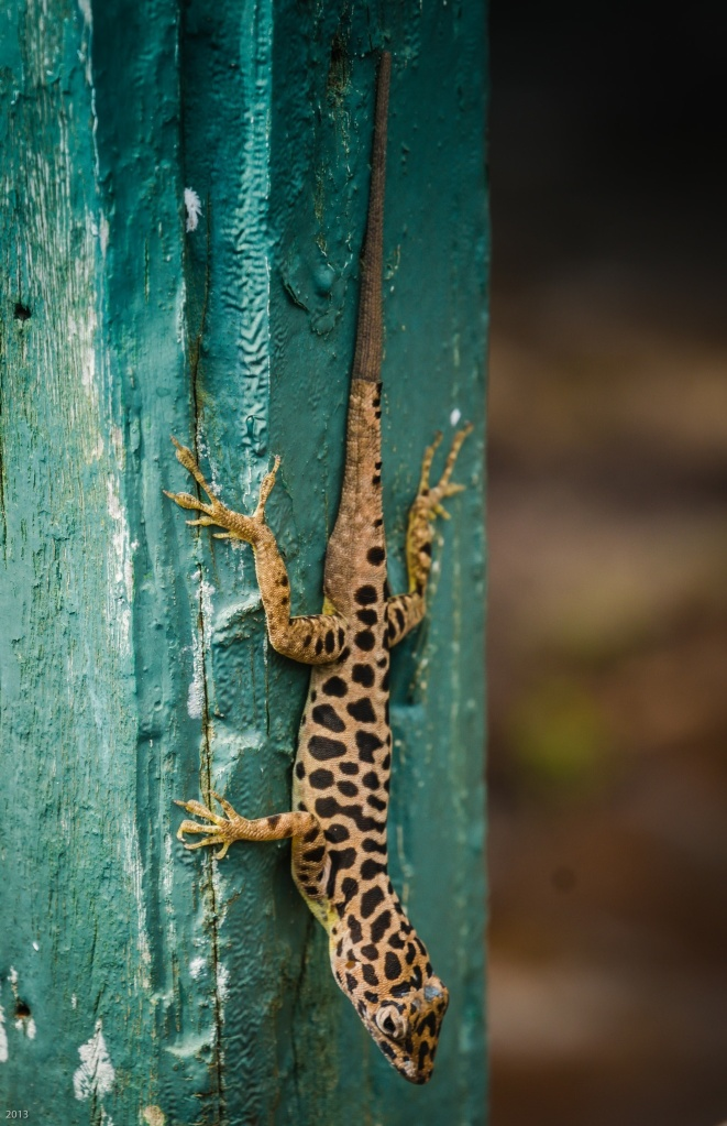 Anole Lizard, Saba, Dutch Caribbean