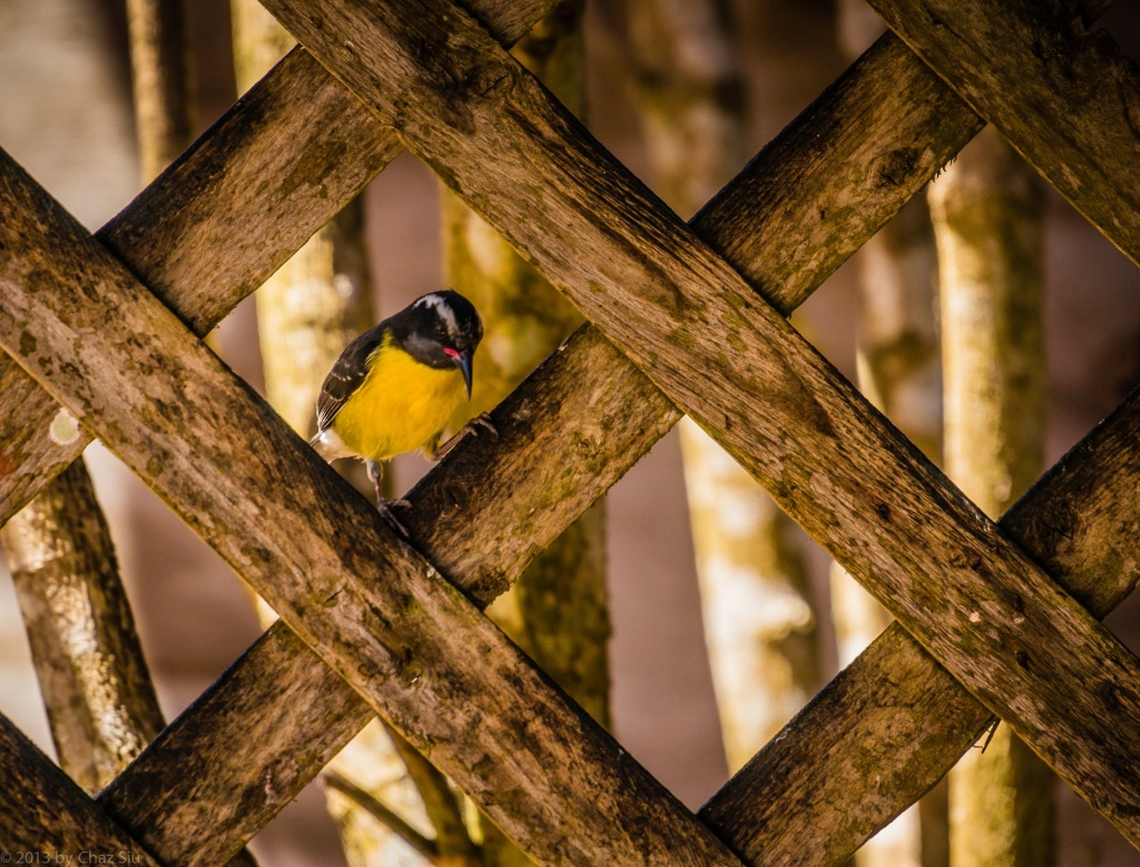 Yellowbreast In Latticework, Saba, Dutch Caribbean