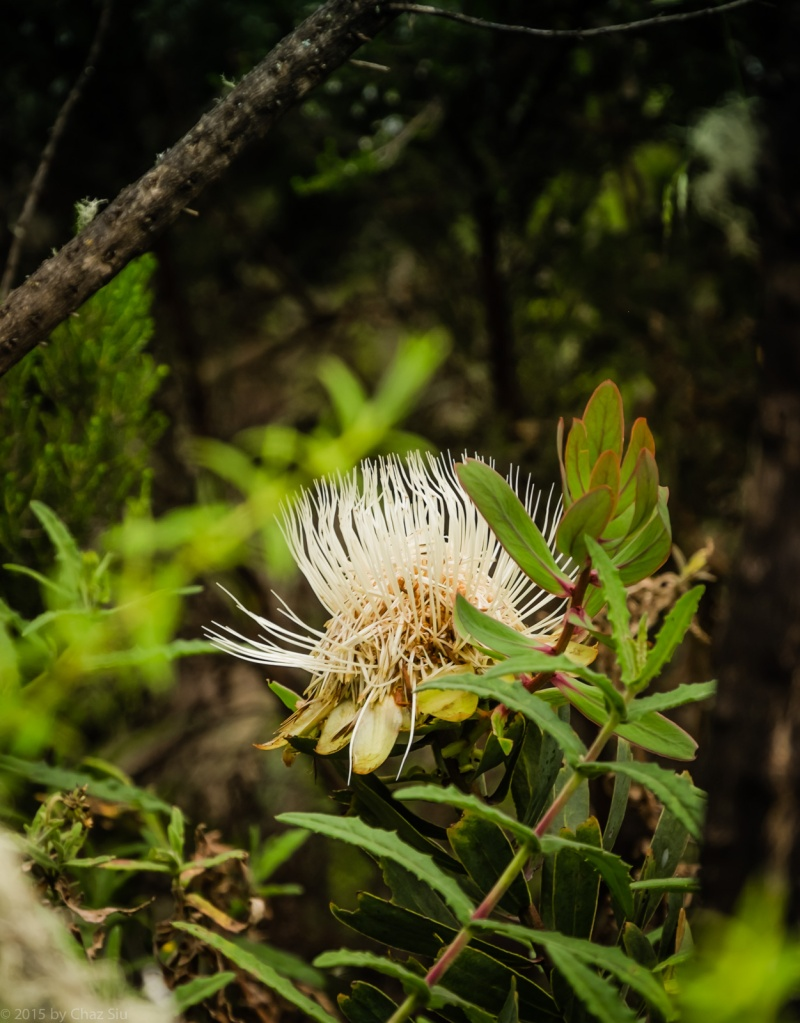 Alpine Sugarbush (Protea Kilimandscharica)