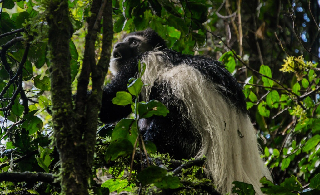 Black and White Colobus Monkey At Tree Camp