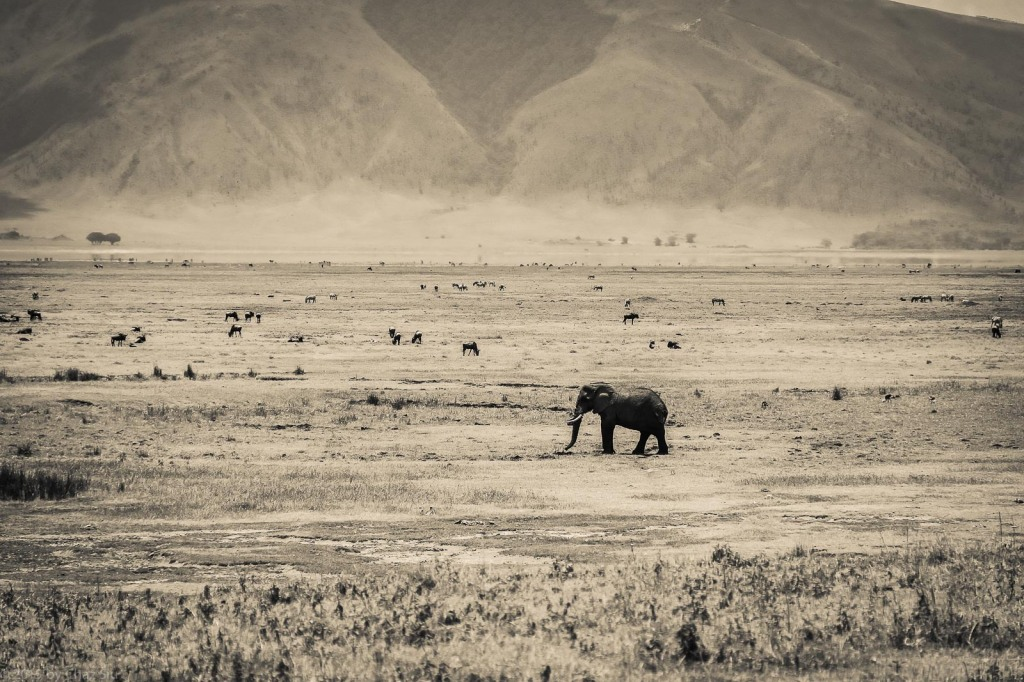 BW Elephants Look Small In The Ngorongoro Crater