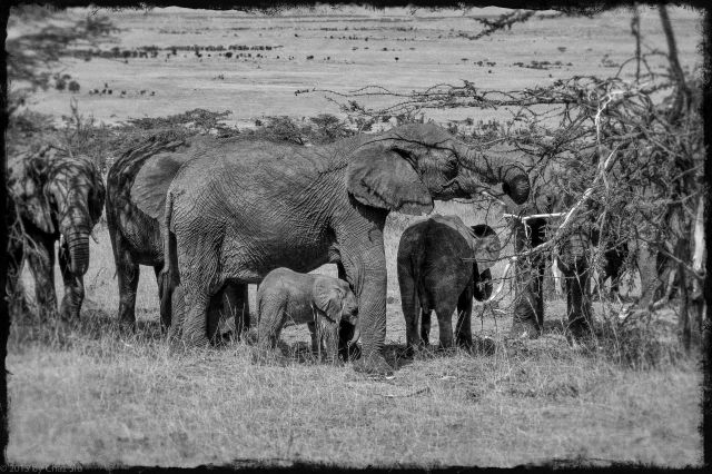 A Memory of Elephants Clusters Together On the Serengeti
