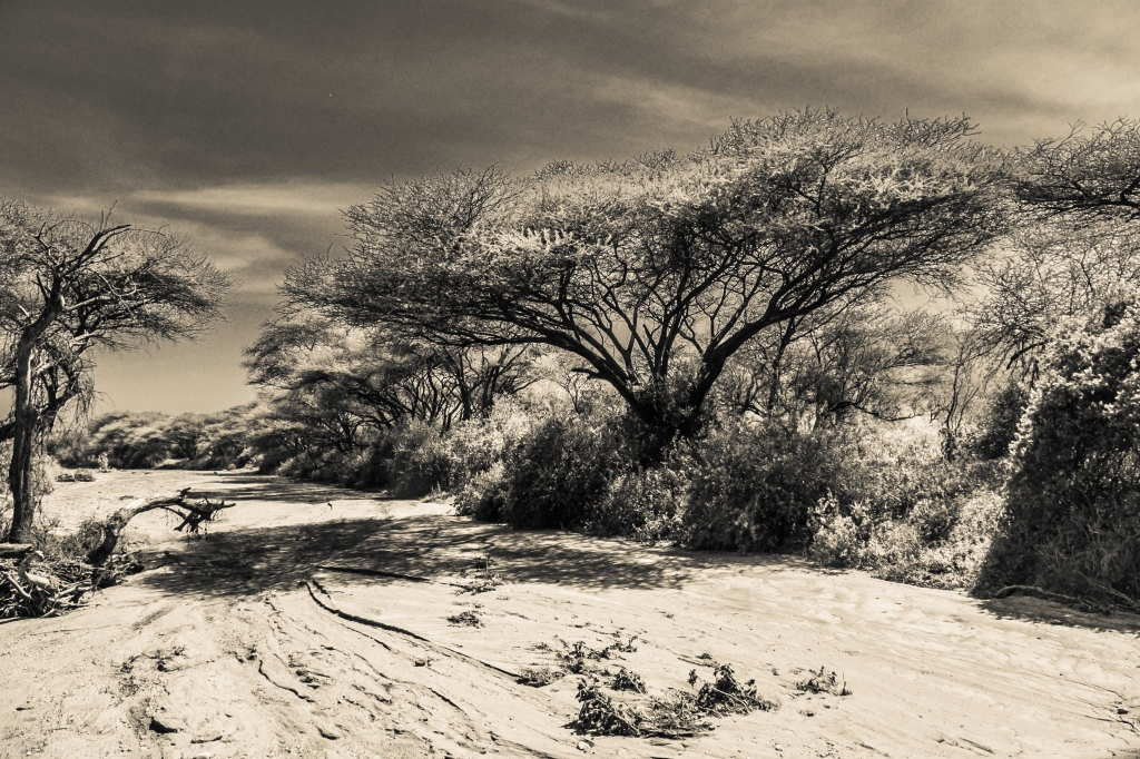 Lake Manyara Acacia Tree Over Riverbed