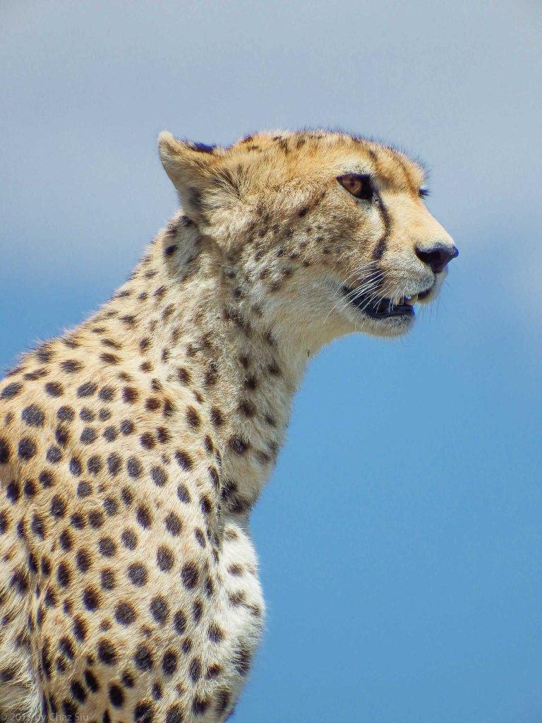 Cheetah Mom - Closeup