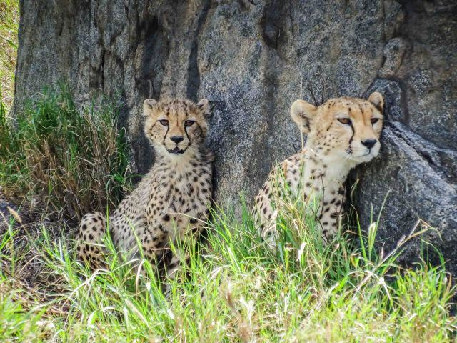 Cheetah Mom and Cub