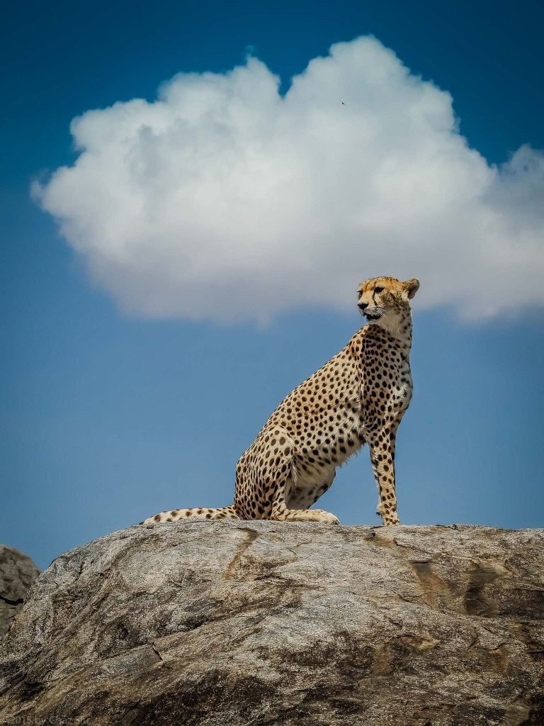 Cheetah Mom On A Rock
