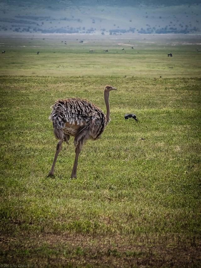 Female Ostrich Is The Family Breadwinner