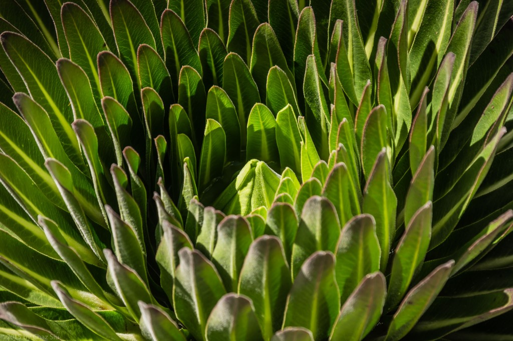 Giant Lobelia Closeup
