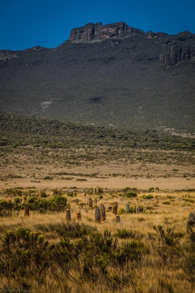 Fields of Giant Lobelia on the Shira Plateau