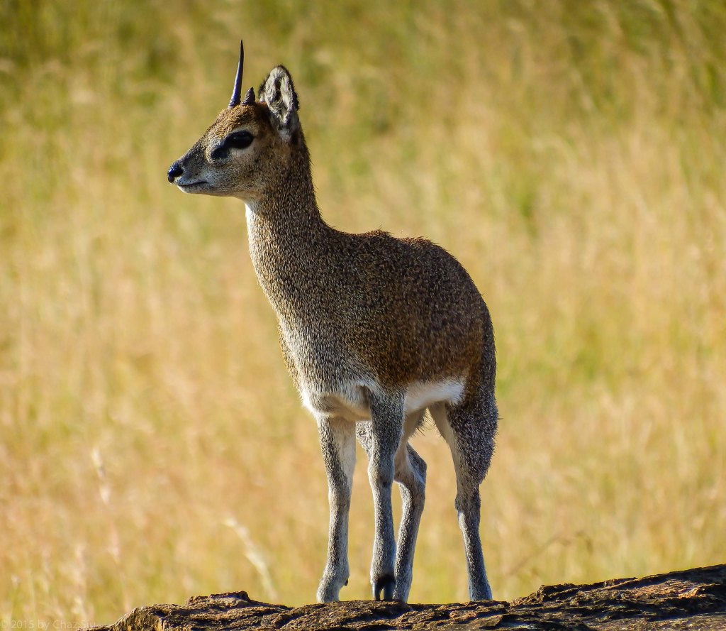 Klipspringer Up Close and Personal