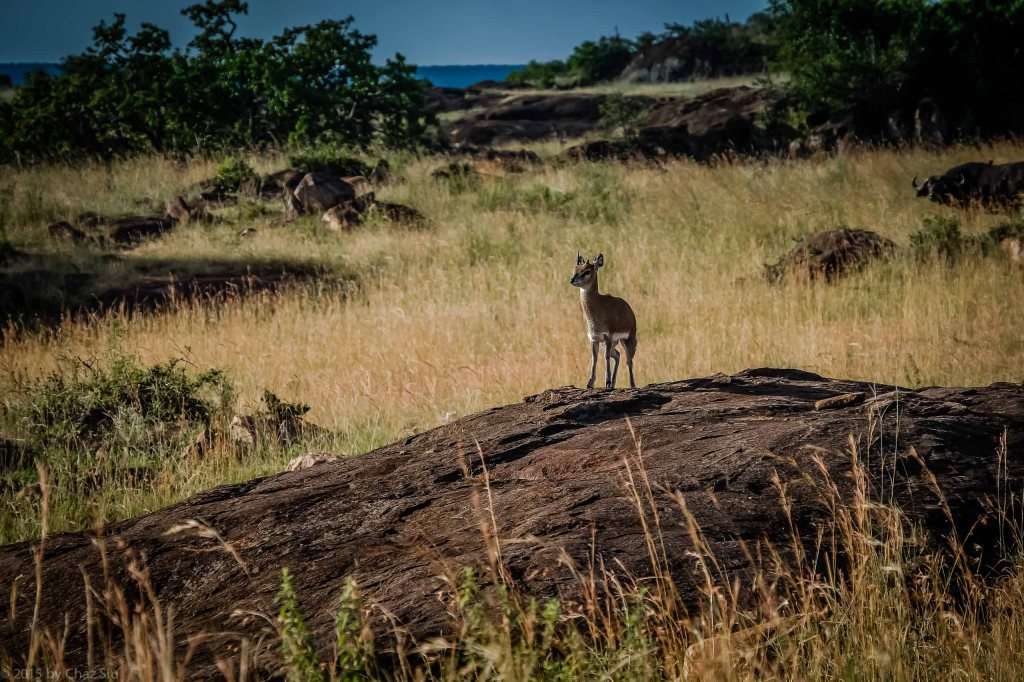 Mighty L'il Klipspringer Is King Of His Rock