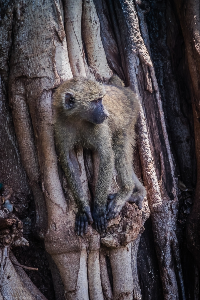 Lake Manyara Young Baboon  In Tree