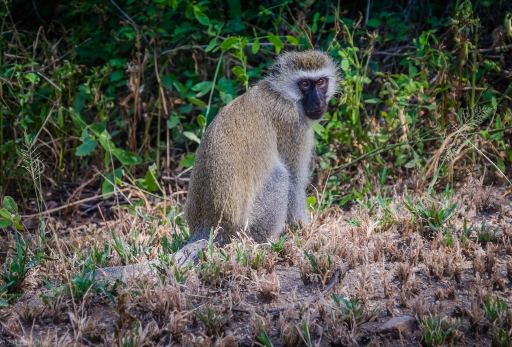 Lake Manyara Blue Monkey In The Grass