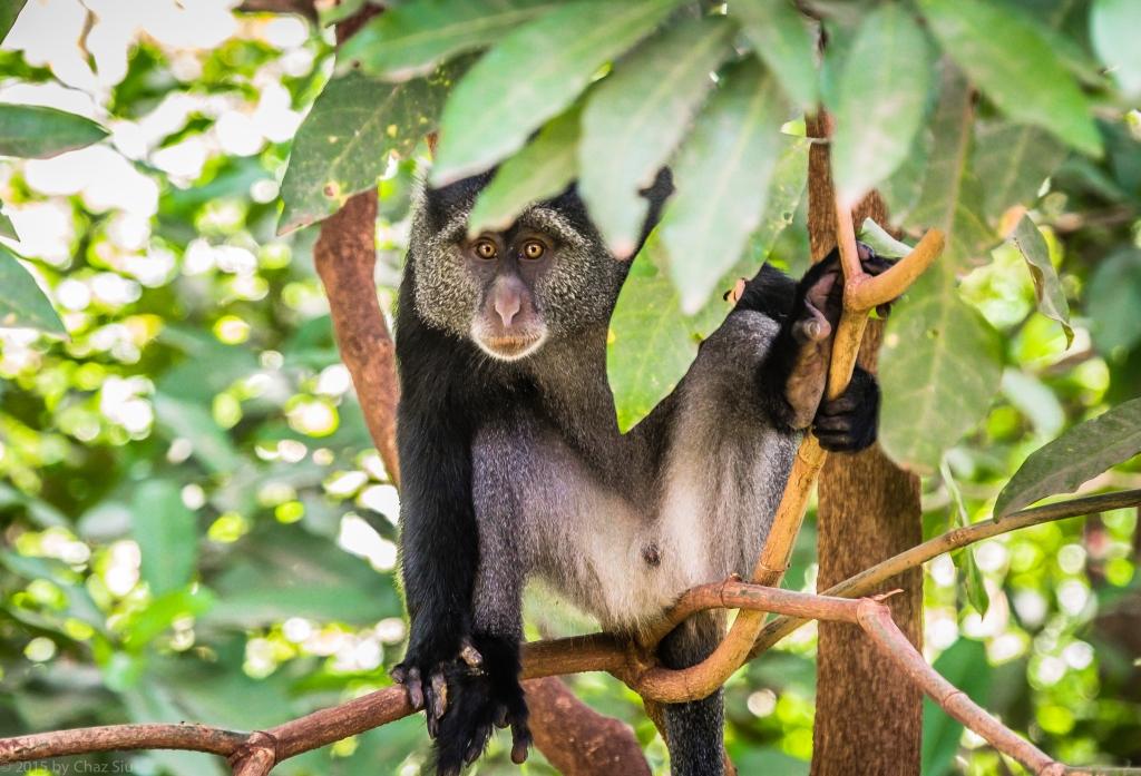 Lake Manyara Blue Monkey Can't Take His Eyes Off Of Us...or Vice Versa