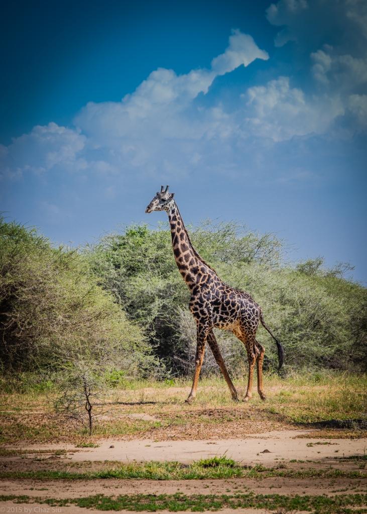 Lake Manyara - You Never Forget Your First Wild Giraffe