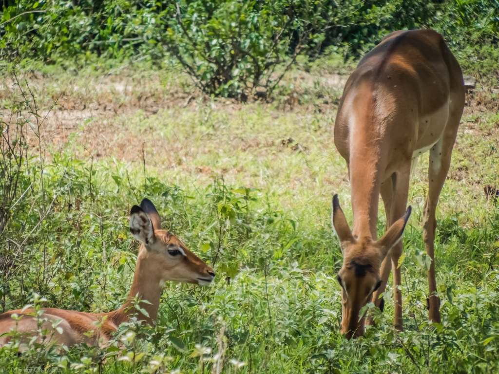 Lake Manyara Impala Mom and Baby