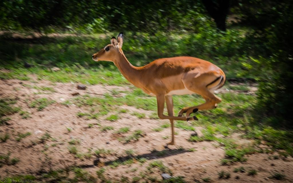 Lake Manyara Impala Sprint