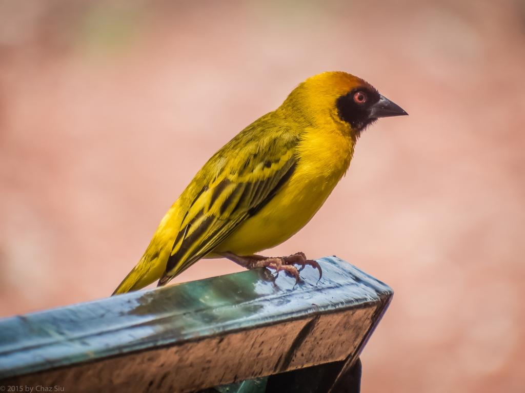 African Birds Were Amazing!  Lake Manyara Kilombero Weaver