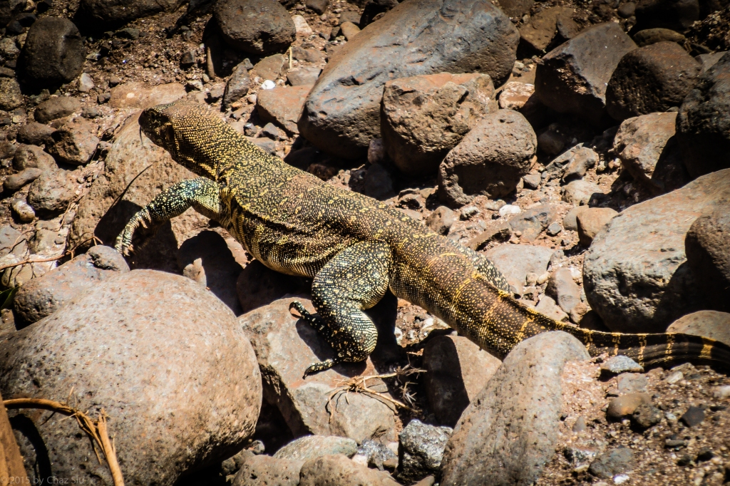 Lake Manyara Nile Monitor Lizard