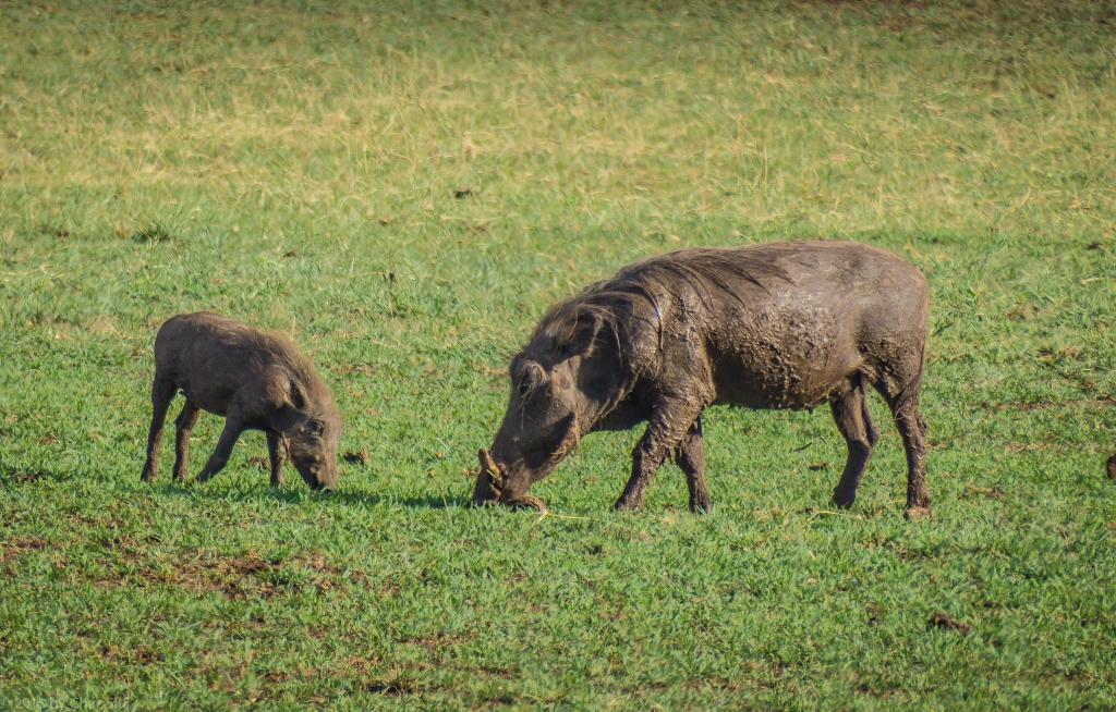 Hakuna Matata! Lake Manyara Warthog and Baby