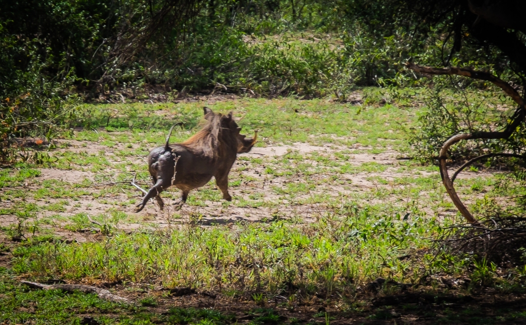 Lake Manyara Warthog Power Trot