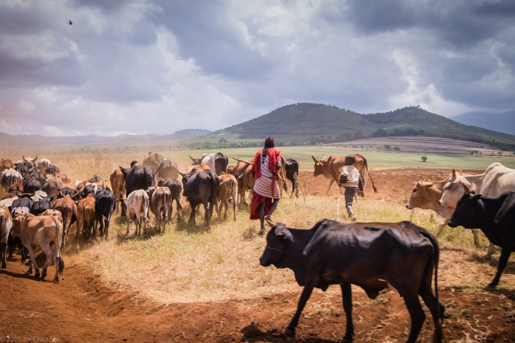 Maasai Herding Cattle On The Driuve to Kili