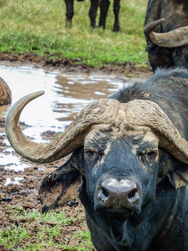 Cape Buffalo Makes Happy Face - NOT