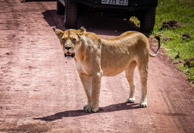 Then She Stood Up And Wandered Over On The Road Near Our Landcruiser To Scope Out Some NEarby Zebra