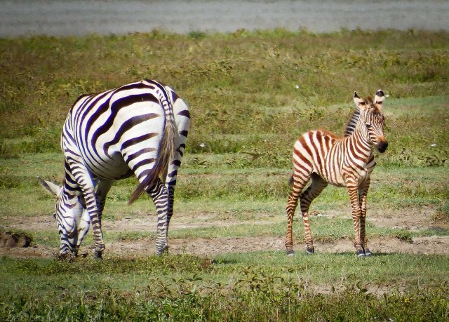 Mom and Baby Zebra - Note The Coloring Difference