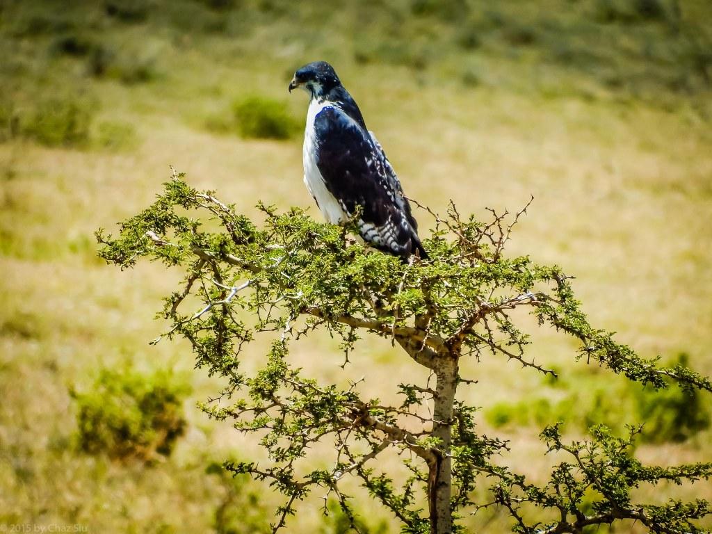 Augur Buzzard - Looks Like A Falcon
