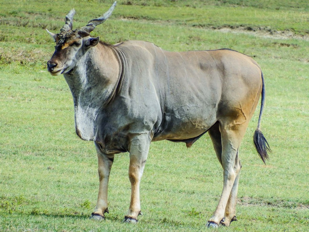 And This Guy Is the Giant Eland...a Huge Antelope.
