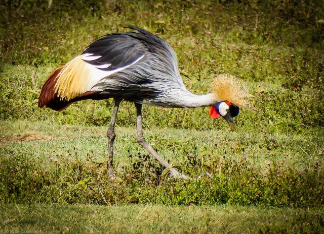 Grey Crowned Crane - Awesome Plumage!