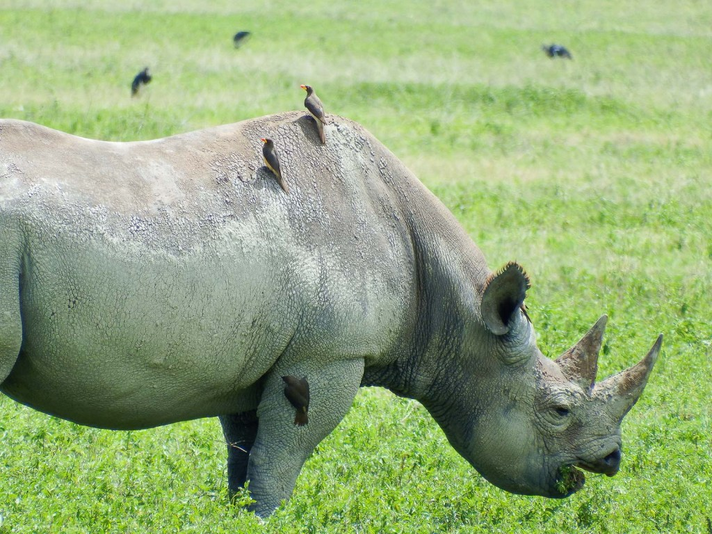 Oxpeckers Chomping Ticks On Black Rhino