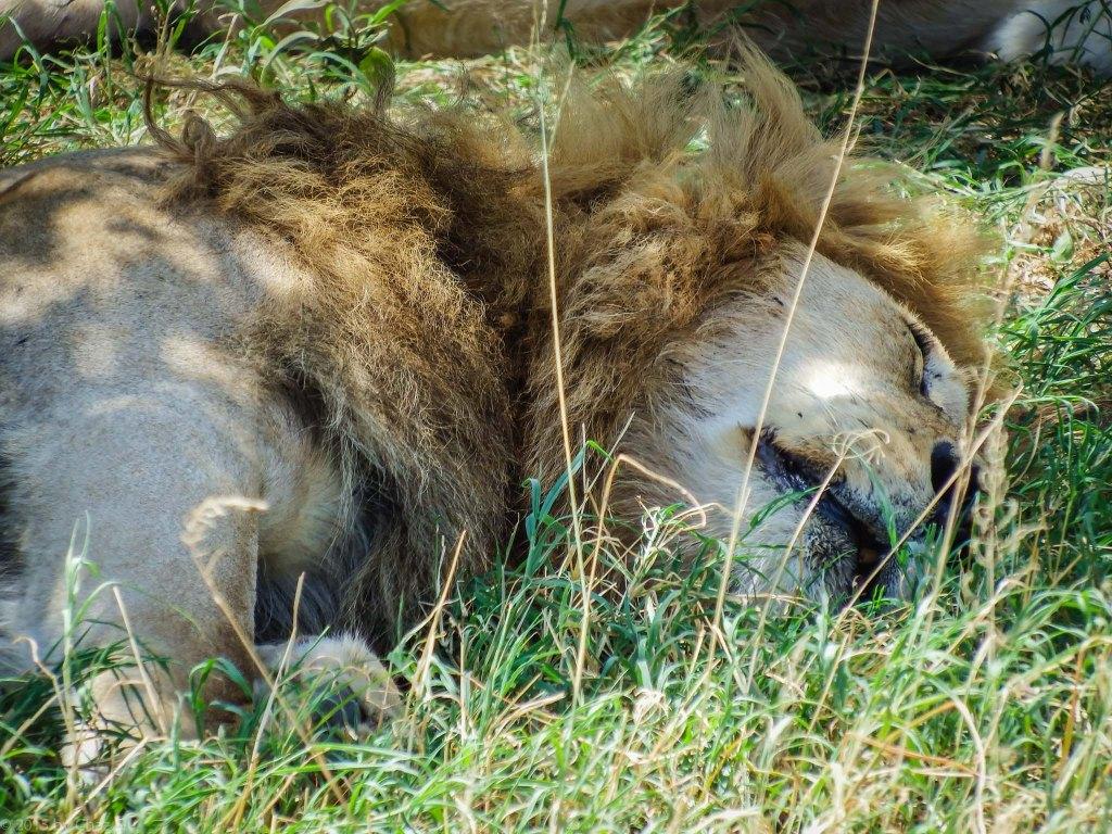 Papa Simba Crashed After Mating