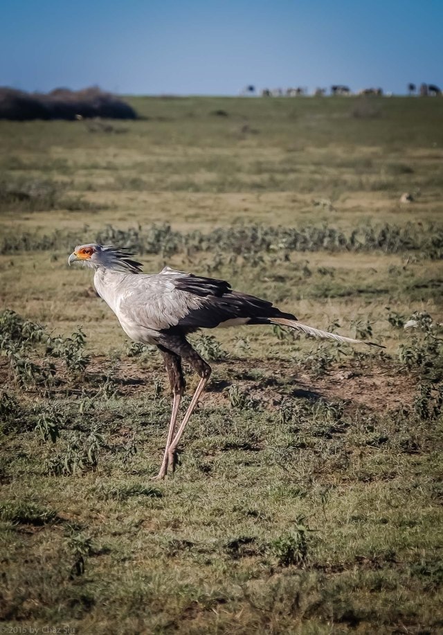 The Unmistakeable Secretary Bird Struts The Serengeti