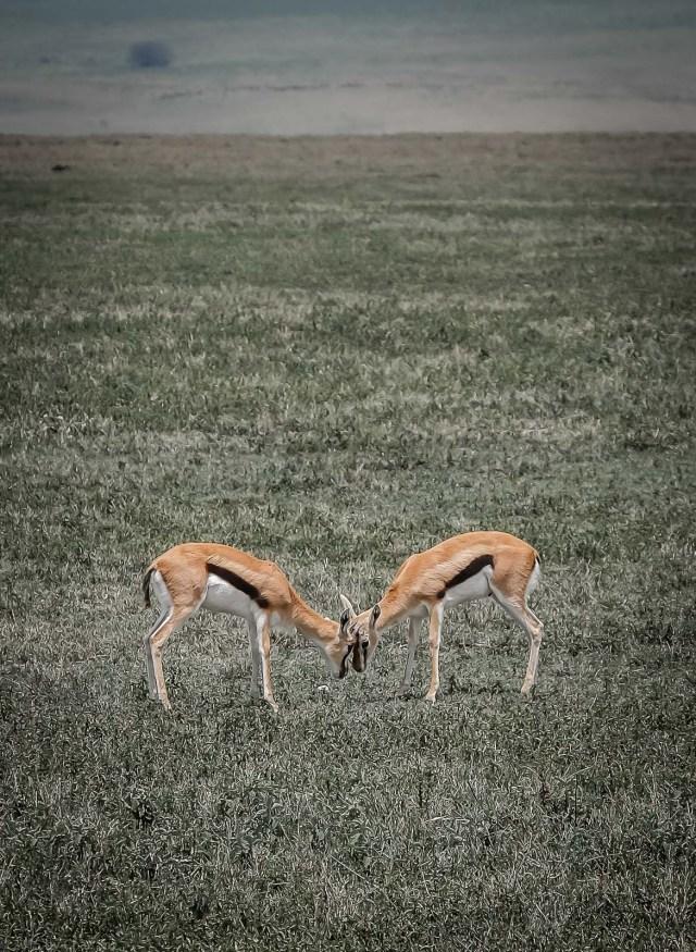 Thomson's Gazelle Kids Playing