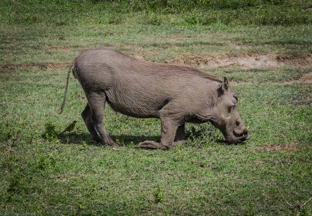 Warthog Kneels To Eat