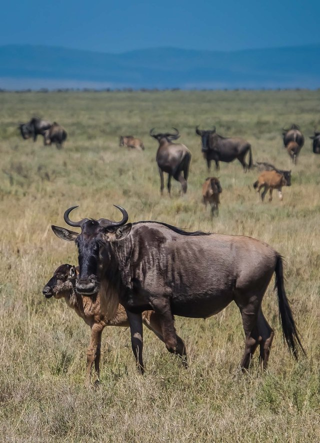 Wildebeests And Their Young Calves