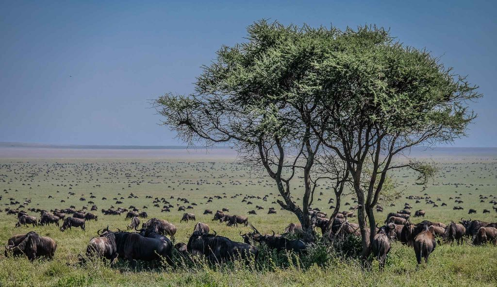 Wildebeests As Far As The Eye Could See In Every Direction.