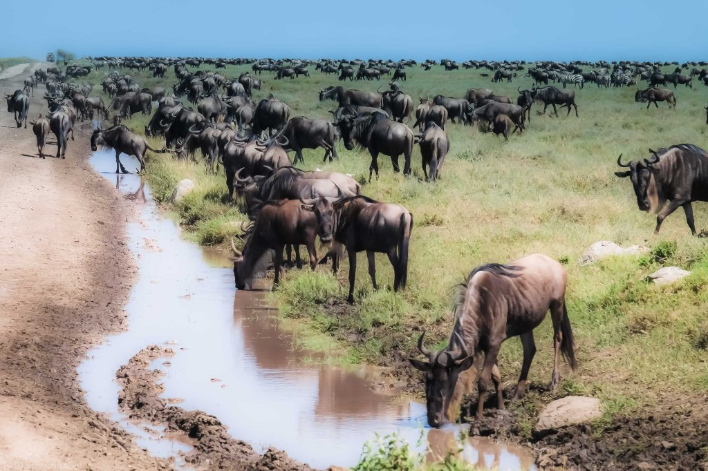 Wildebeests At The Watering Holes By The Side of The Road