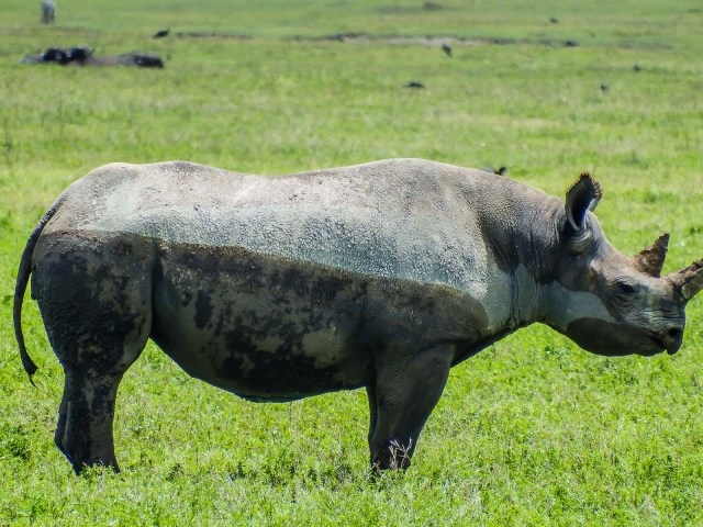 Young Black Rhino
