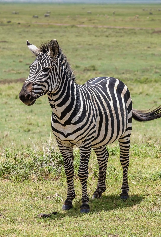 Zebra Face Forward