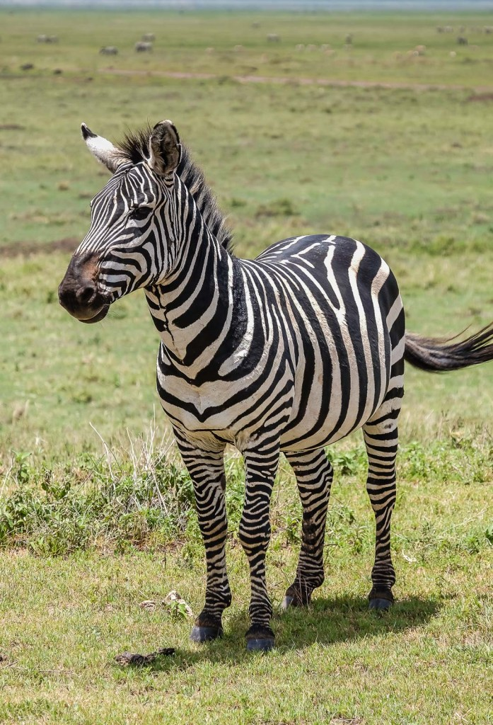 Zebra Face Forward