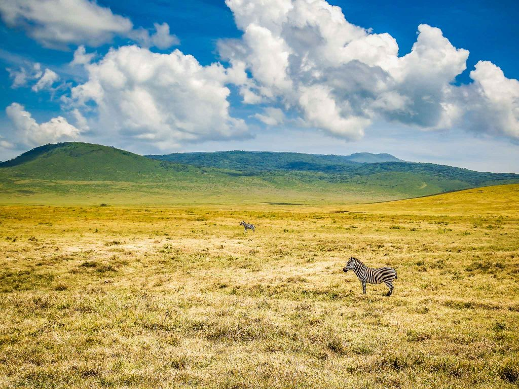 Zebras On The Plains of Ngorongoro Crater