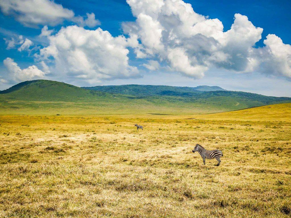 Zebras On The Plains of Ngorongoro Crater