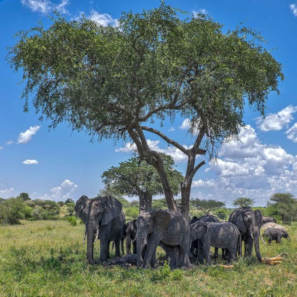 Elephant Cluster On A Hot Day